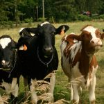 « Au cœur du CETA », épisode 2 : l'agriculture sacrifiée ?