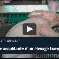scandale sanitaire dans un élevage porcin